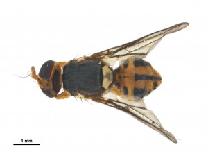 Bactrocera facialis fruit fly   Biosecurity NZ   NZ Government