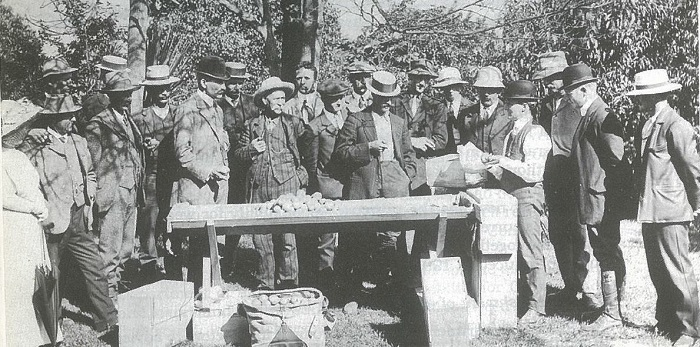 A group of around 20 people stand around a trestle table in an apple orchard as Department of Agriculture staff demonstrate apple packing in timber boxes to growers.