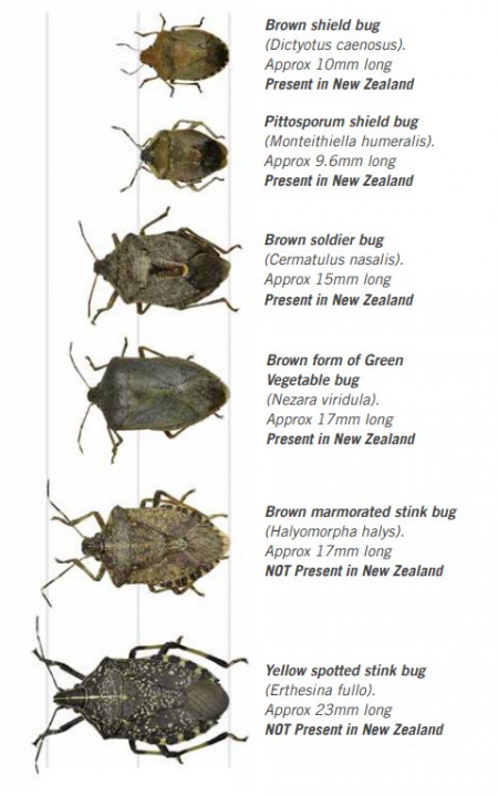 Brown marmorated stink bug alongside similar insects to illustrate their size and differences. The brown marmorated stink bug is larger than the species which are currently present in New Zealand.