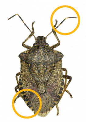 Brown shield-shaped bug with striped antennae and abdomen