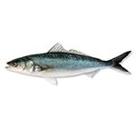 Image of a kahawai fish