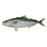 Image of a kingfish