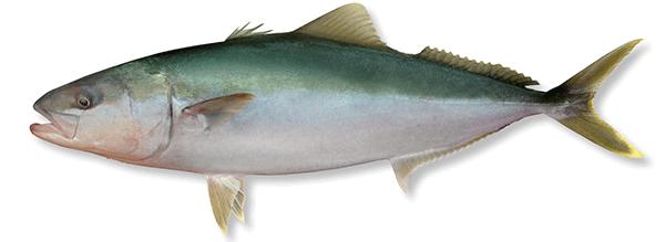 Kingfish image