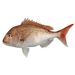 Image of a snapper fish