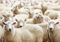 Sheep – Horizon Three | MPI - Ministry for Primary Industries  A New