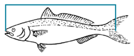 Measure finfish length from tip of the nose to the middle ray or V in the tail.