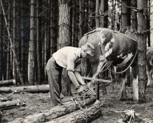 A black and white archive image of an early New Zealand forestry worker attaching logs with a chain to a work horse.