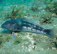 blue cod resting on coral rock