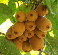 kiwi fruits growing in a tree