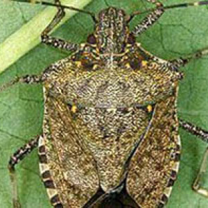 Brown marmorated stink bug 200 190