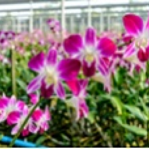 120x114greenhouse orchids