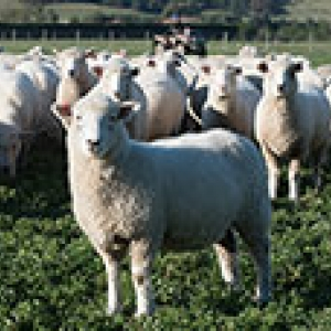 sheep in a green paddock