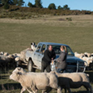 Farmers in front of truck with Sheep