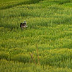 researcher stands in a green field of barley