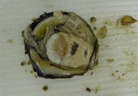 Oyster parasite