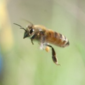 200x140-Honey-bee-flying-in-foreground.jpg