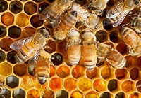 200x140-Honey-bees-in-hive-on-honeycomb.jpg