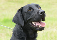 black lab detector dog