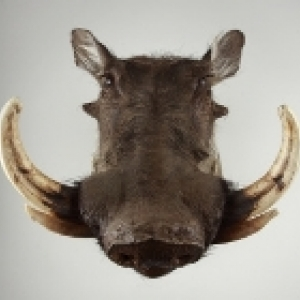 boar head with tusks