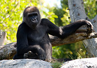 gorilla sitting on a rock