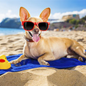 dog with sunglasses sitting on a beach towel