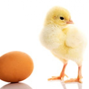 egg and yellow chick