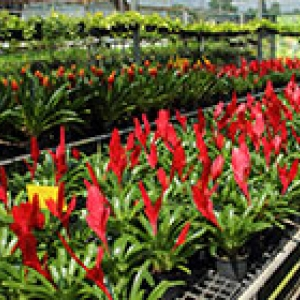 Flowering potted plants at a nursery or garden centre