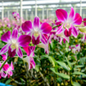 orchids in a greenhouse