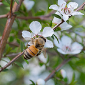 honey bee on a manuka flower