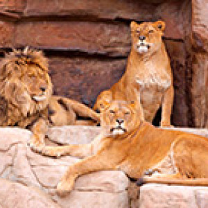 lions sitting on a rock ledge