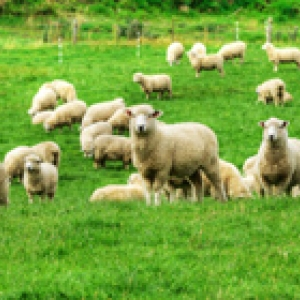 sheep flock in a field