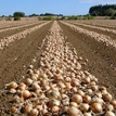 rows of onions in a field