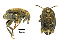 Pea weevil top and side view