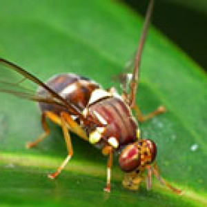 Queensland fruit fly on leaf.