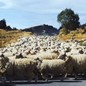 sheep flock on country road