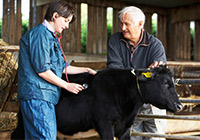 vet and farmer examining a black calf